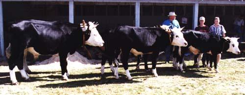 Rural Heritage Hereford Holstein Oxen