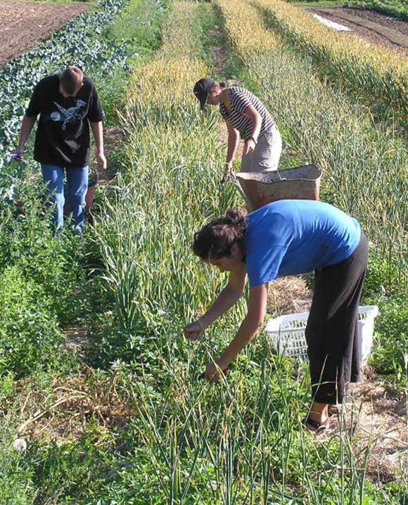 Interns harvest garlic at Mackin Creek Farm in British Columbia, Canada