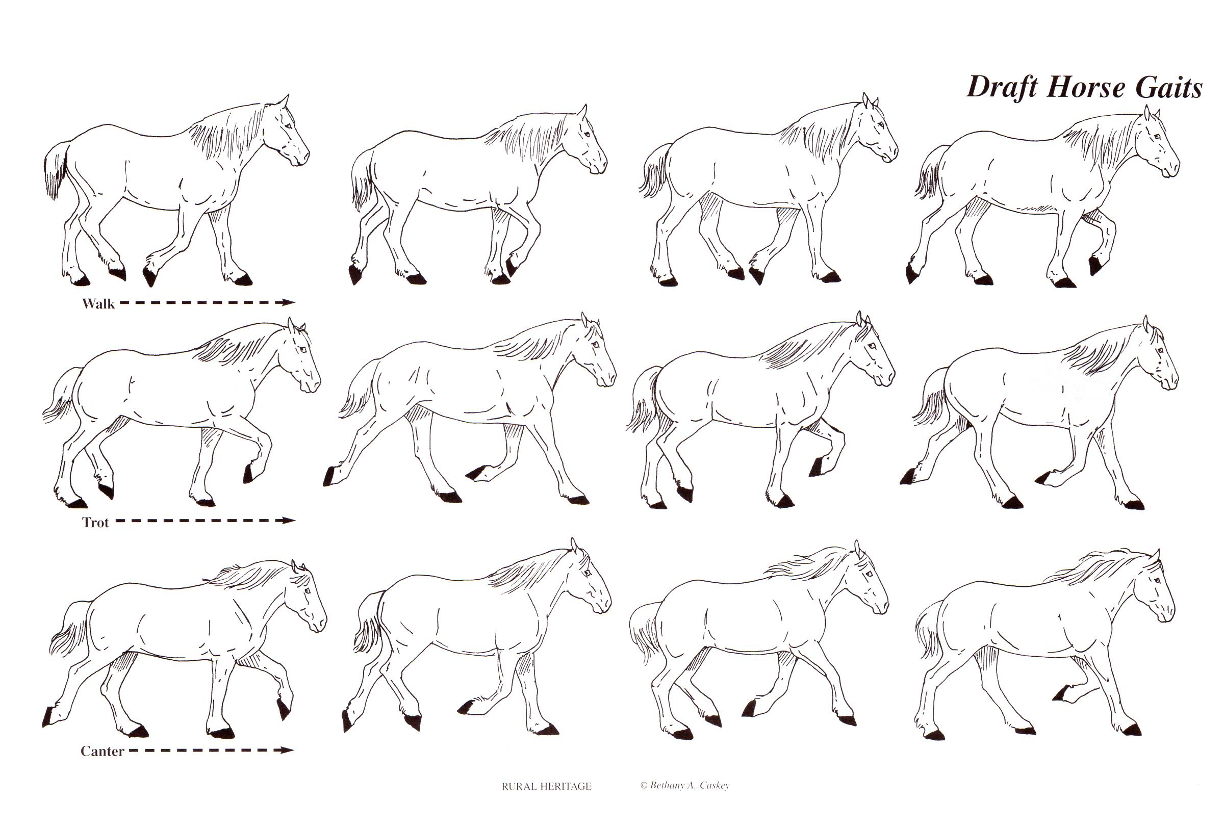 horse gaits
