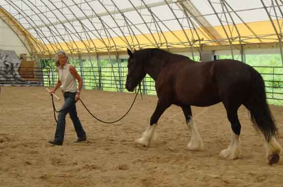 training Clydesdale with Doc Hammill