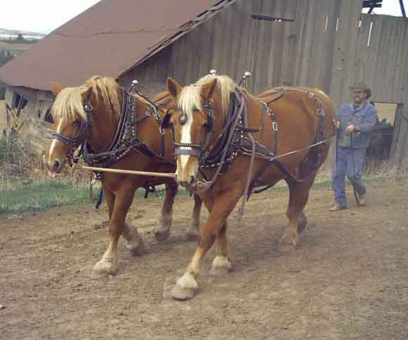 draft horse herd