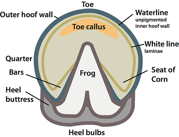 horse hoof illustration