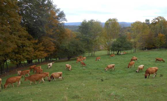 cedar mountain dairy cows grazing