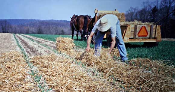 laying straw mulch