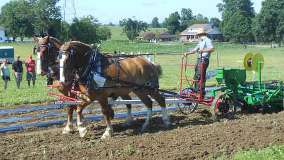 draft horse team laying mulch