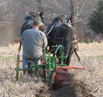 Percheron plowing