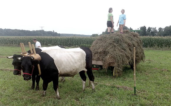 haying with oxen