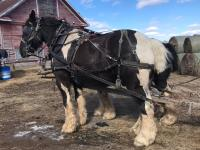 Horse team for sale