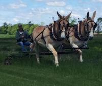 Mule team for sale
