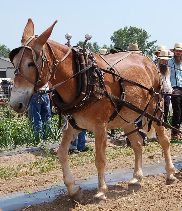 Mule team closeup