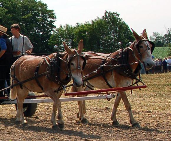 Vintage Image of mule team