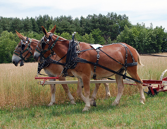 Mule team with read wagon