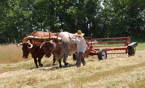 oxen pull hay fluffer